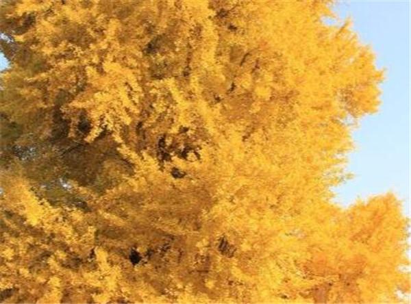 银杏叶片的功效与作用 银杏树的叶子像什么