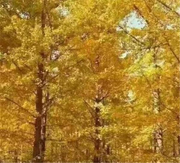 银杏叶的花语和寓意 描写夏天的银杏叶的优美句子