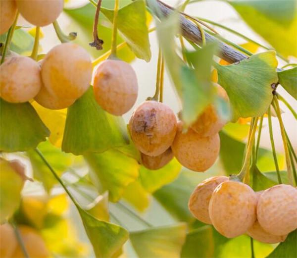 银杏树的特点有哪些 简单介绍银杏树的资料和图片