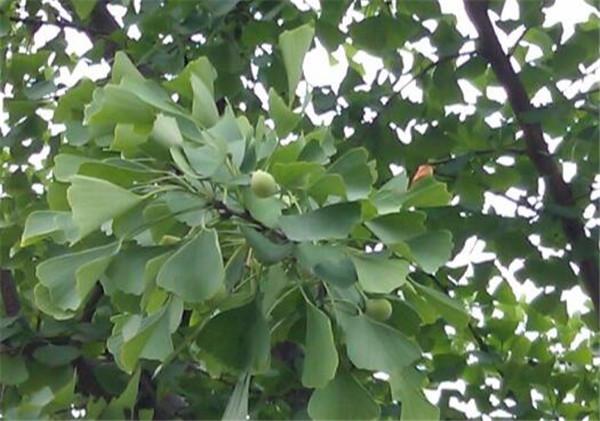银杏树多少钱一颗 银杏树种子怎样育苗