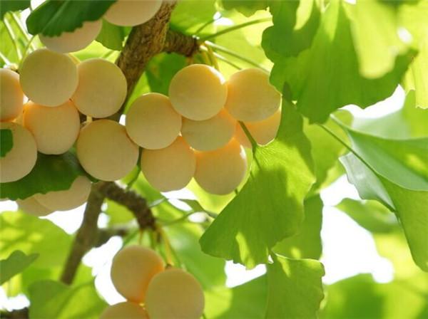 银杏树有什么价值和用途 中国最古老银杏树