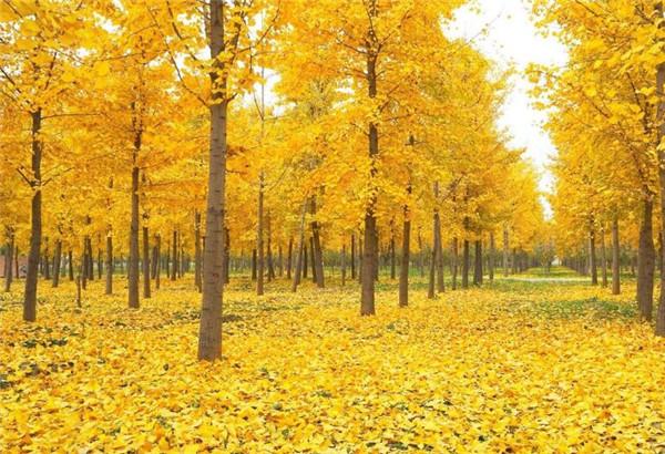 银杏树镇宅还是招鬼 别墅庭院最佳树木