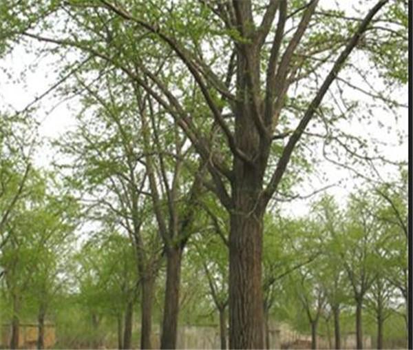 银杏树盆栽怎么养 银杏盆景什么时候摘叶