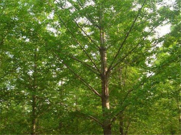 银杏树种植要求 银杏树种植后不发芽怎么办