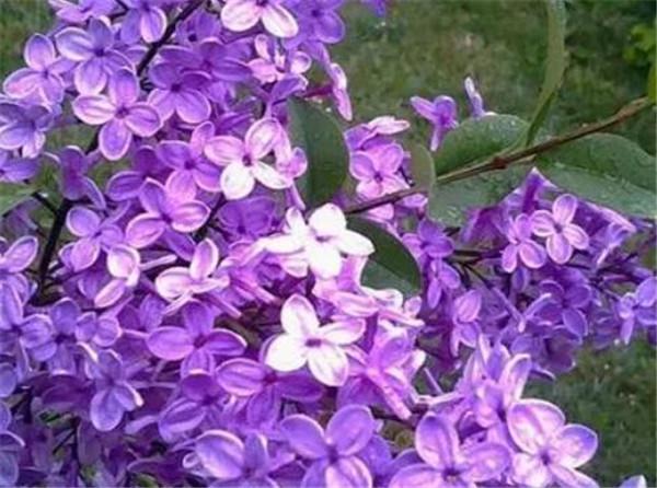 紫丁香什么时候盛开 丁香花一年四季的变化