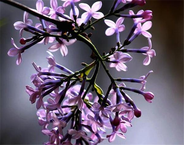 紫丁香花的功效与作用 丁香花有虫怎么治