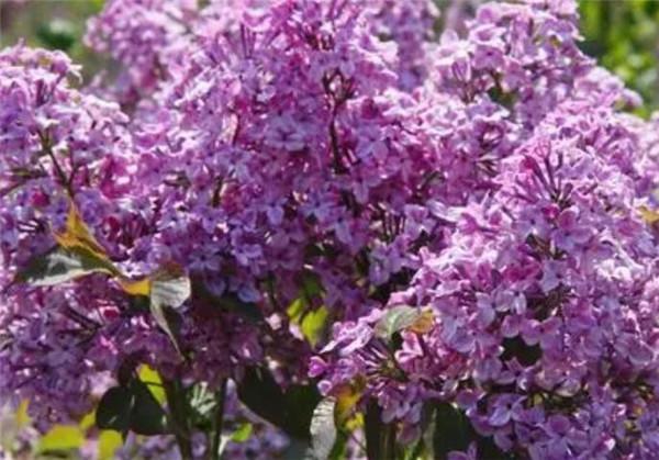 丁香花是什么颜色的 丁香花几月开图片