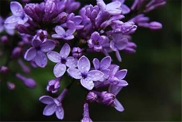 丁香花的寓意和象征 家里为啥不能养丁香