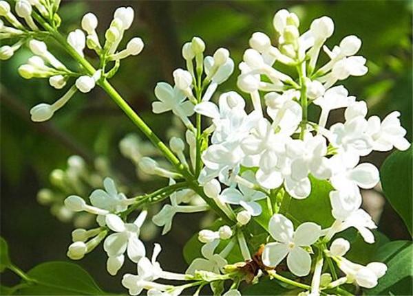白丁香的功效与作用 白丁香中药多少钱一斤