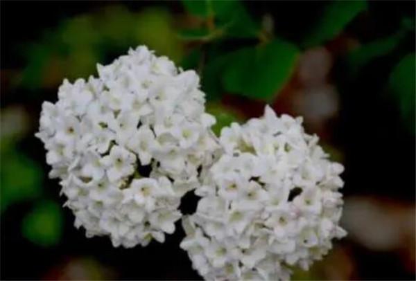 白丁香的象征寓意 白丁香是植物还是鸟粪