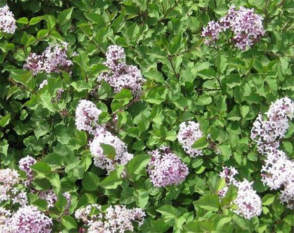 小叶丁香和紫丁香区别 丁香花为什么叫鬼花