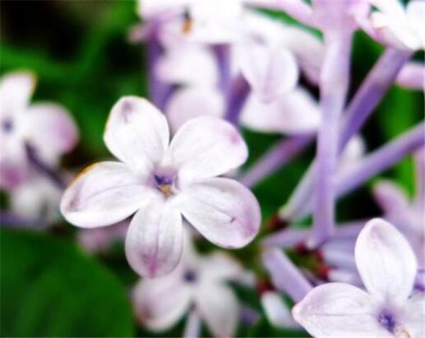 五瓣丁香花的寓意和象征 五瓣丁香花的传说