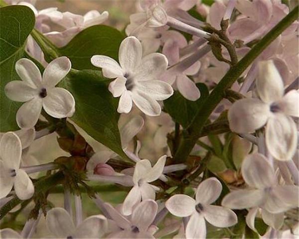 把五瓣的丁香花送给别人代表什么 五瓣丁香怎么养