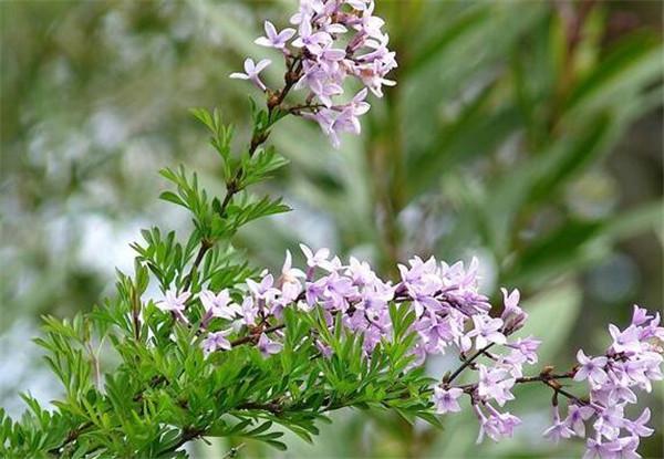 花叶丁香的适生土壤 五种招鬼的树,十种招鬼的花是什么?