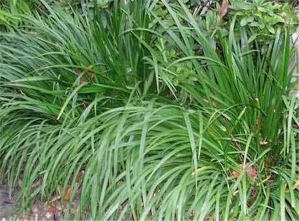 中药石菖蒲的功效 石菖蒲可以大面积田间种植吗