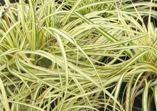 金线石菖蒲的繁殖方法 最适合家里养的十大植物