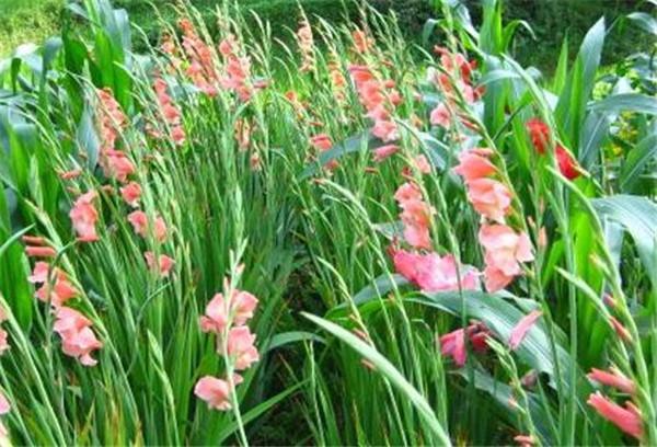 唐菖蒲的繁殖方法 唐菖蒲种球种植最佳时间