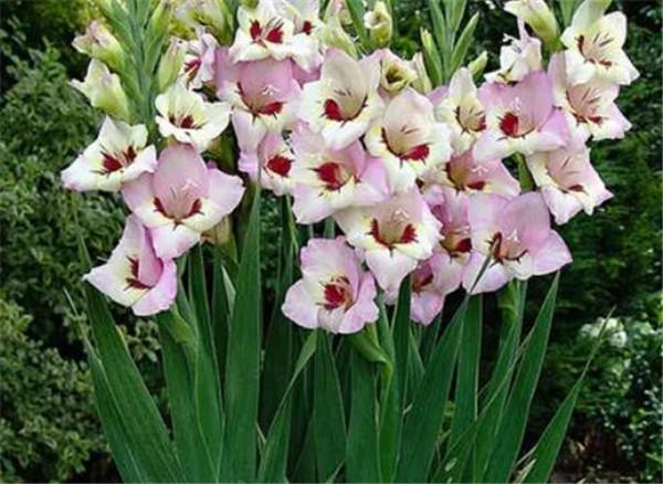 唐菖蒲什么时候开花 唐菖蒲地栽可以越冬吗
