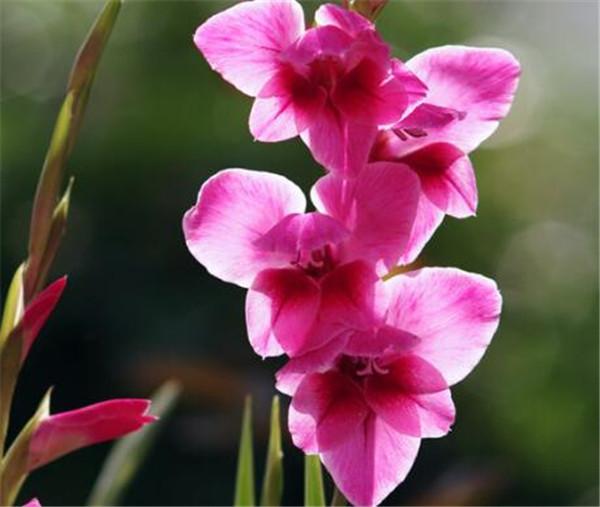 唐菖蒲园林用途 唐菖蒲药用价值