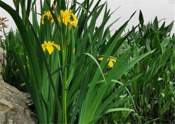 黄菖蒲和鸢尾什么区别 黄菖蒲是水生植物吗