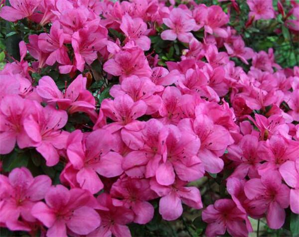 杜鹃花的养殖方法和注意事项盆栽 最适合家里养的十大植物
