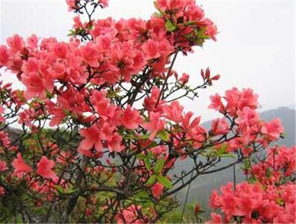 杜鹃花如何浇水和养殖 杜鹃花换盆后掉叶怎么办