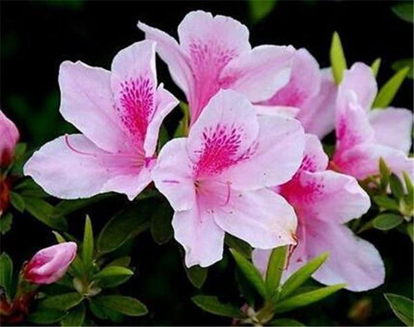 杜鹃花的繁殖方法 杜鹃花的象征意义