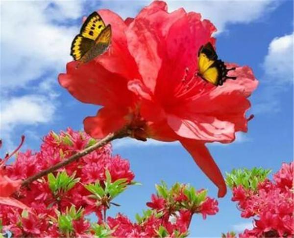 杜鹃花语是什么 杜鹃花夏天怎么养