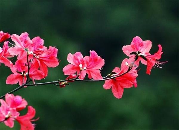 杜鹃花掉叶子是怎么补救 杜鹃花好养吗