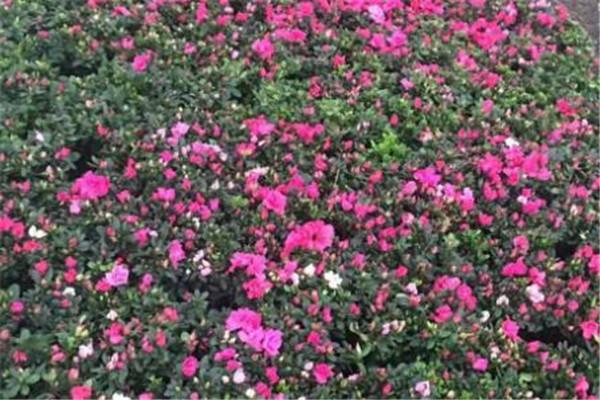比利时杜鹃花的养殖方法和注意事项 比利时杜鹃花期多长