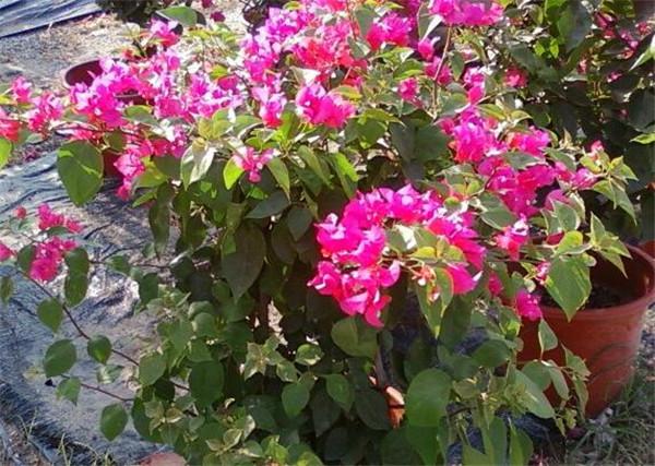 比利时杜鹃花怎么养 比利时杜鹃哪种品种好