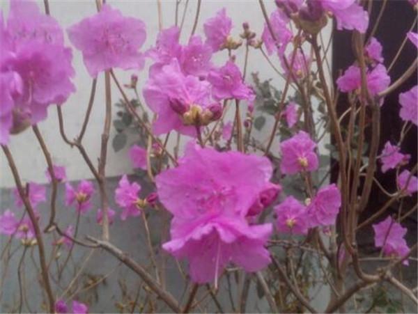 迎红杜鹃的繁殖方法 迎红杜鹃可以在家养吗