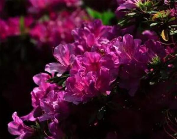 紫花杜鹃下山桩好养吗 紫杜鹃和红杜鹃的区别