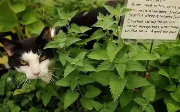 猫薄荷是什么东西 猫薄荷和薄荷的区别