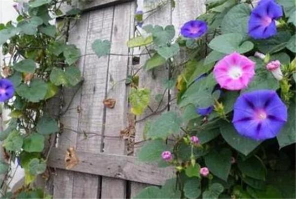 牵牛花的花语 牵牛花是什么颜色的