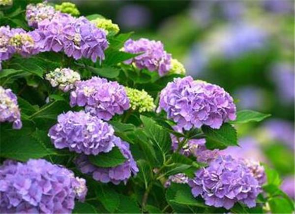 绣球花的养殖方法和注意事项 绣球花的花语