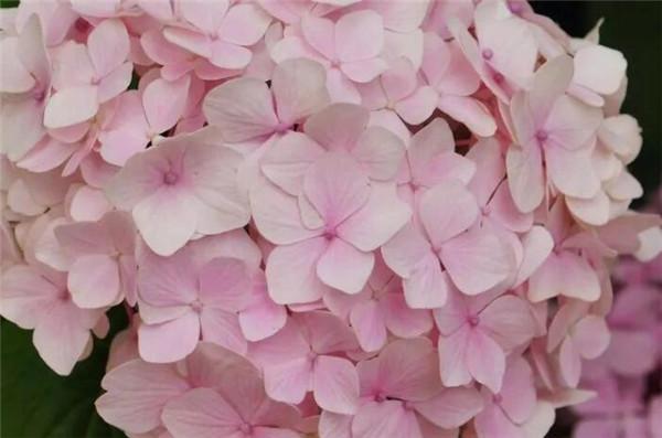 绣球花怎么养 绣球花价格一般为多少