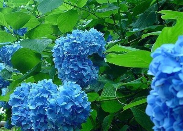 夏天可以种绣球花吗 影响绣球花颜色的因素