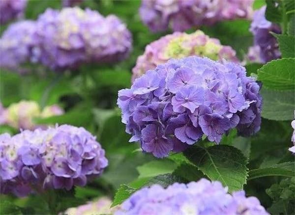 绣球花怎么在花瓶里养 绣球花水养放多少水