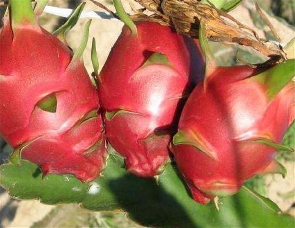 火龙果的热量高不高 吃红心火龙果的禁忌