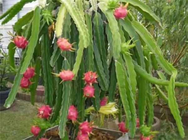 火龙果盆栽几年能结果 火龙果盆栽如何修剪