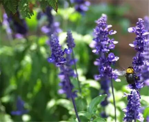 快乐鼠尾草精油的功效与作用 快乐鼠尾草为什么快乐