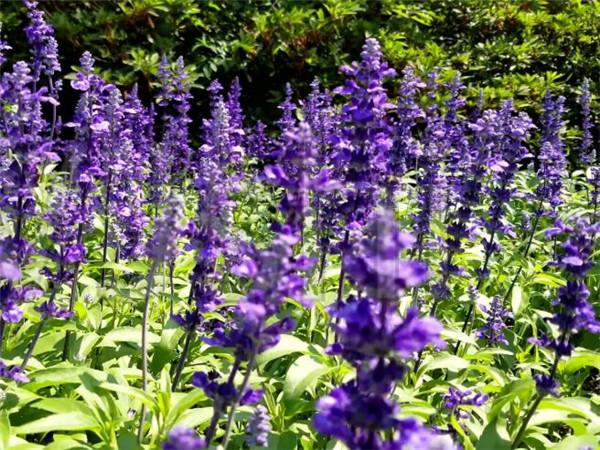 蓝花鼠尾草是一年生还是多年生 蓝花鼠尾草花期和花语