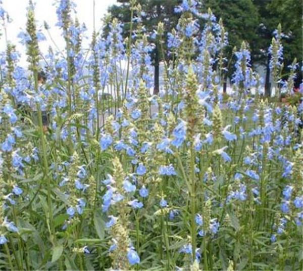 天蓝鼠尾草和蓝花鼠尾草区别 天蓝鼠尾草可以食用吗