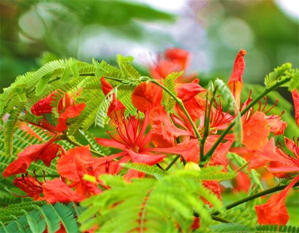 凤凰花开的季节和图片 凤凰花花语寓意