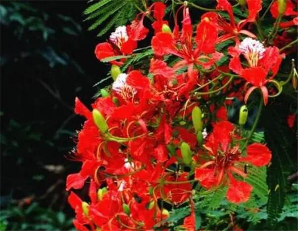 凤凰花是厦门的市花吗 十大不吉利花有哪些