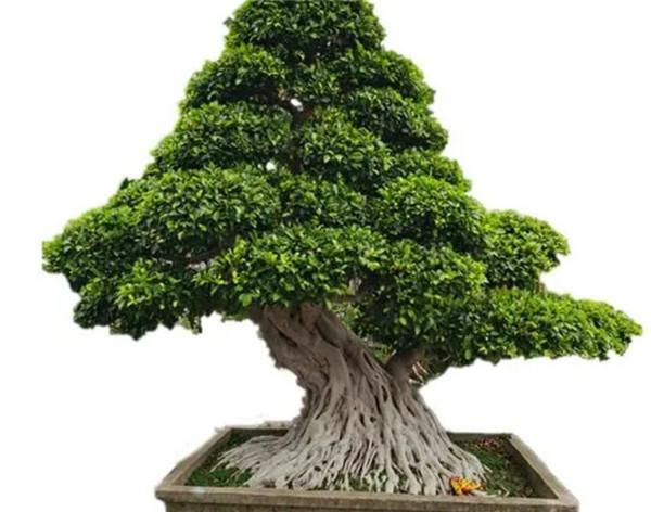 关于榕树的资料图片介绍 榕树的养殖方法和注意事项