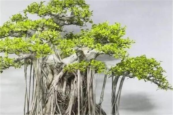 榕树盆景怎么养 榕树盆景用什么肥料