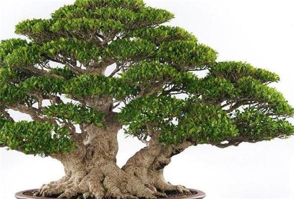 榕树用途有哪些 榕树的花语和寓意