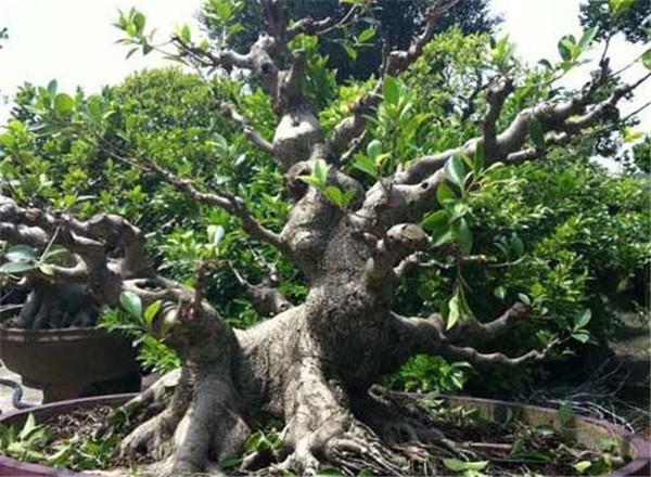 榕树盆景制作入门教程 s型榕树盆景怎么修剪
